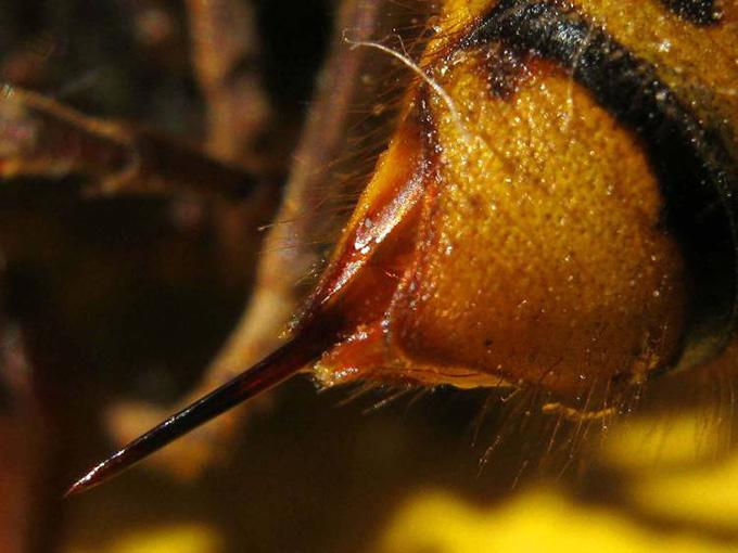 Aguijón del avispón asiático gigante