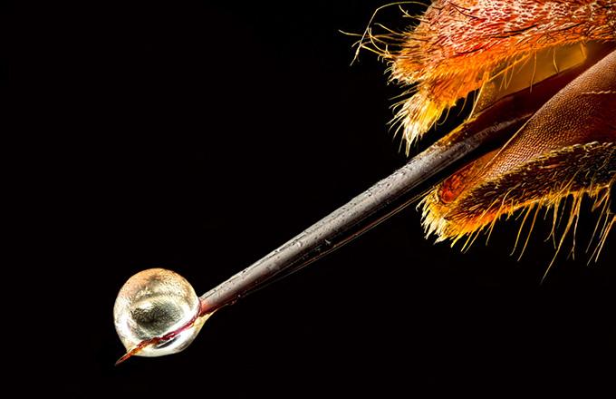 Veneno de la avispa asiática vespa velutina