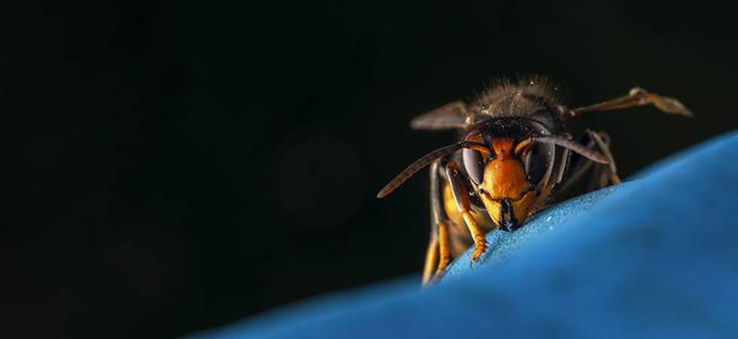 Detalle de la vespa velutina