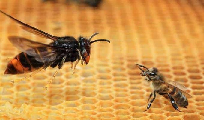 Amenaza de avispa asiática